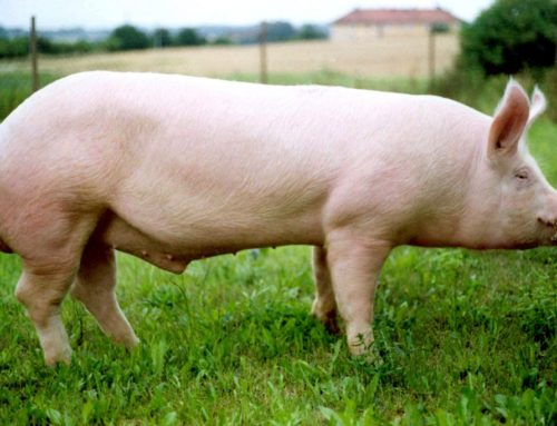 Компания Геносервис Руско произвела очередную поставку партии спермодоз хряков породы Большая Белая и Ландрас из Чехии