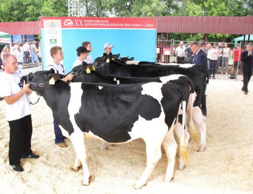 VII Конкурсный показ коров голштинской и черно-пестрой голштинизированной породы